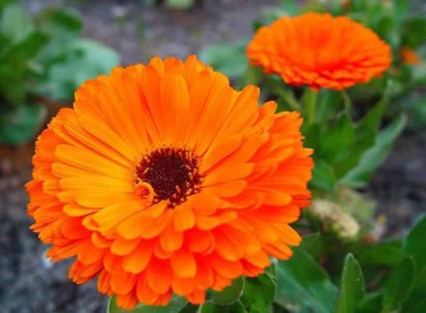 cuales-son-las-flores-del-verano-calendulas