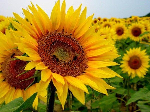 cuales-son-las-flores-del-verano-girasol