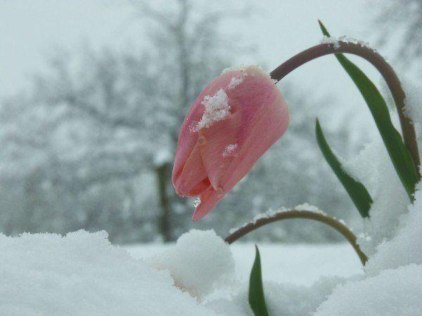 fotos de flores en invierno - belleza[1]