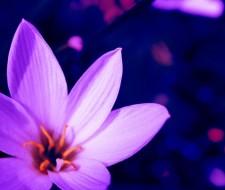 Cómo y por qué plantar lavanda en nuestro huerto o jardín
