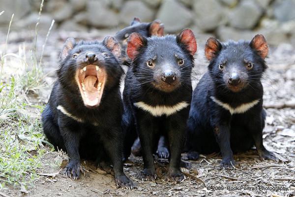 21-animales-que-solo-encontraras-en-un-lugar-del-mundo-demonio-de-tasmania