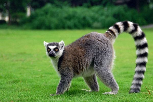 21-animales-que-solo-encontraras-en-un-lugar-del-mundo-lemur