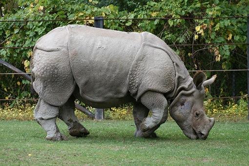 21-animales-que-solo-encontraras-en-un-lugar-del-mundo-rinoceronte-javanês