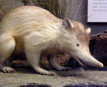 21-animales-que-solo-encontraras-en-un-lugar-del-mundo-solenodonte