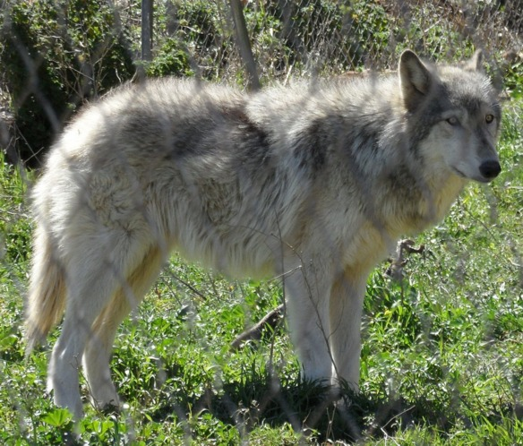 animales-hibridos-wolfdog