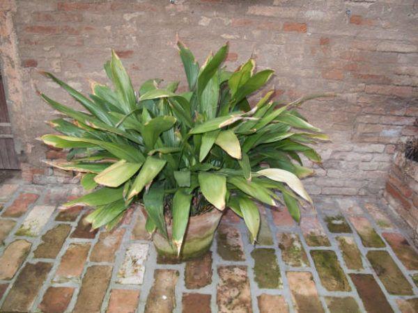 Plantas de interior que no necesitan cuidados Aspidistra