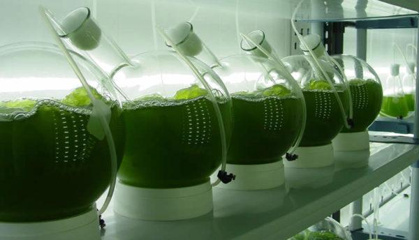 biogas-microalgas