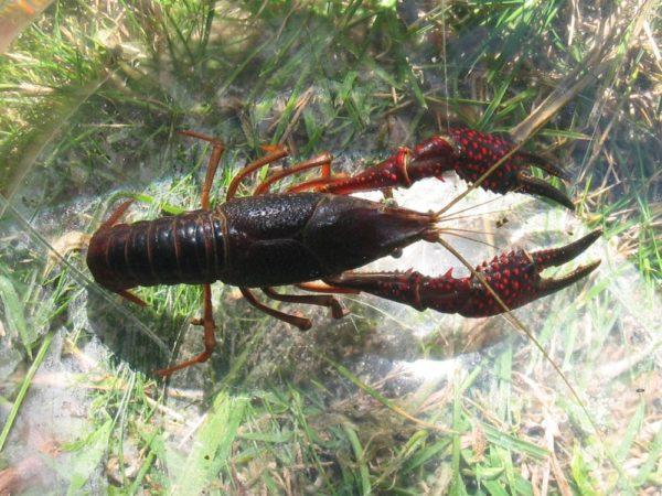especies-invasoras-cangrejo-americano