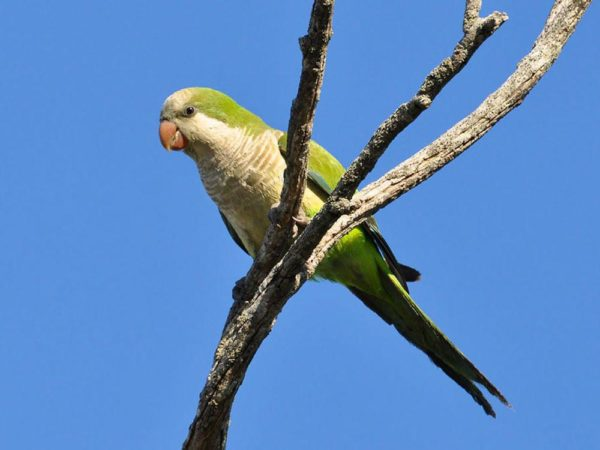 especies-invasoras-cotorra-argentina