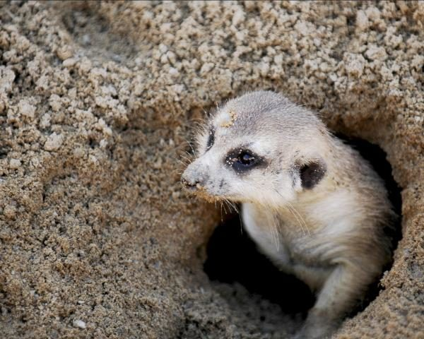 especies-invasoras-mapache