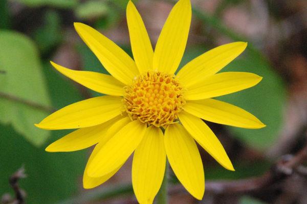 plantas-aromaticas-arnica
