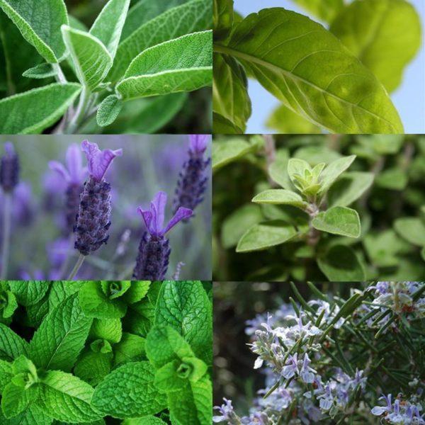 plantas-aromaticas-foto