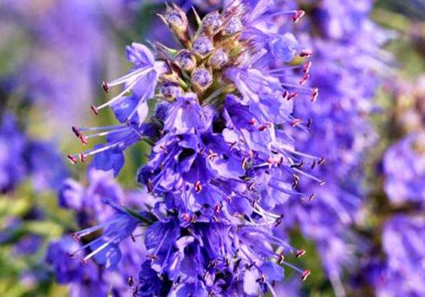 plantas-aromaticas-medicina-hisopo