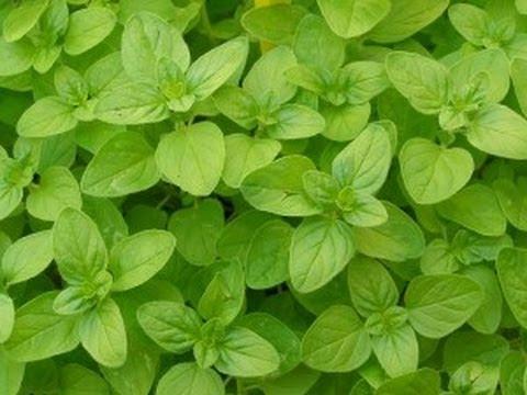 plantas-aromaticas-medicina-mejorana