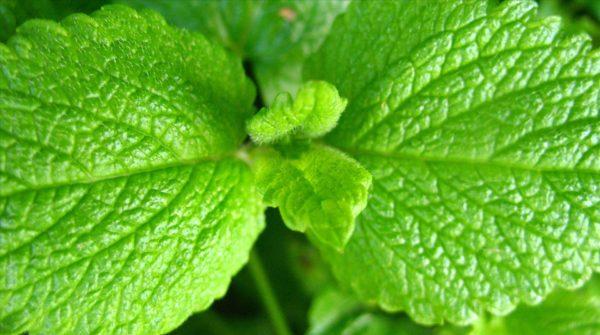 plantas-aromaticas-medicina-melisa