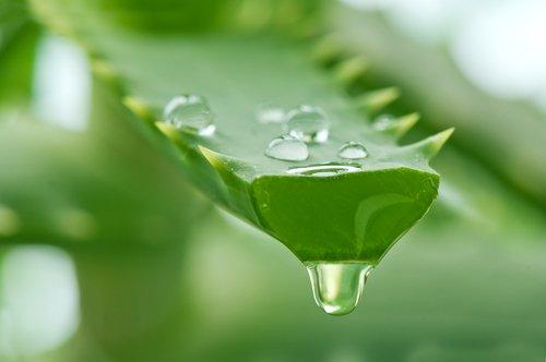 plantas-aromaticas-sabila