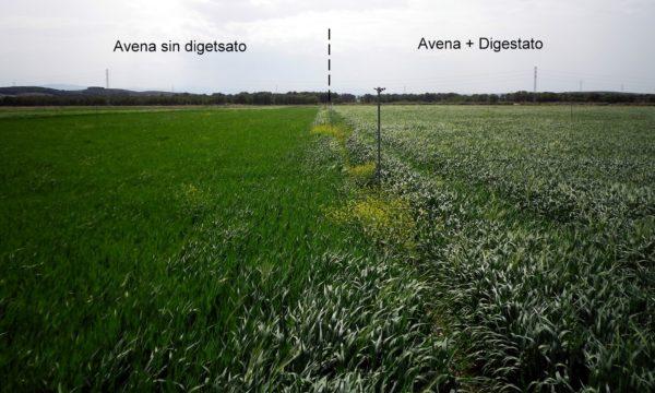 Desarrollo de un campo de Avena en el que se ha utilizado Digestato como fertilizante