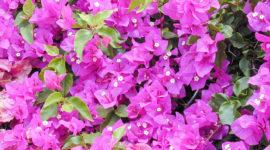 Cómo cultivar la bugambilia en nuestro jardín