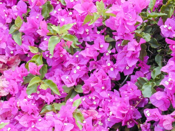 como-cultivar-la-bugambilia-en-nuestro-jardin