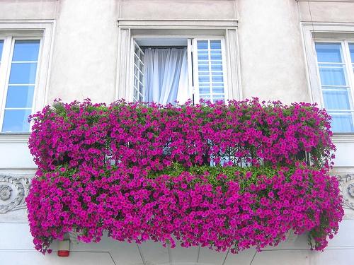 como-cultivar-la-bugambilia-en-nuestro-jardin-balcon