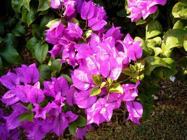 como-cultivar-la-bugambilia-en-nuestro-jardin-cuidados