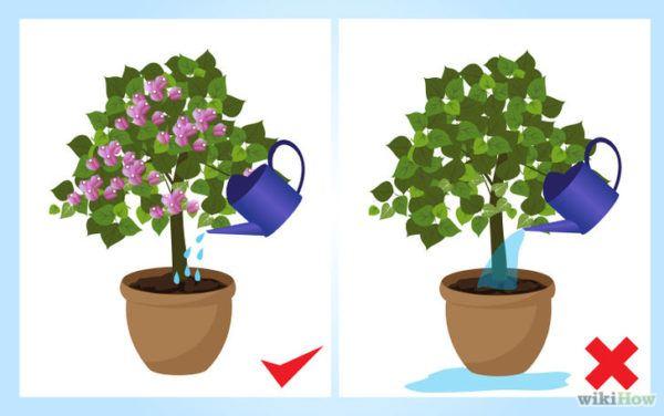 como-cultivar-la-bugambilia-en-nuestro-jardin-forma-de-regar