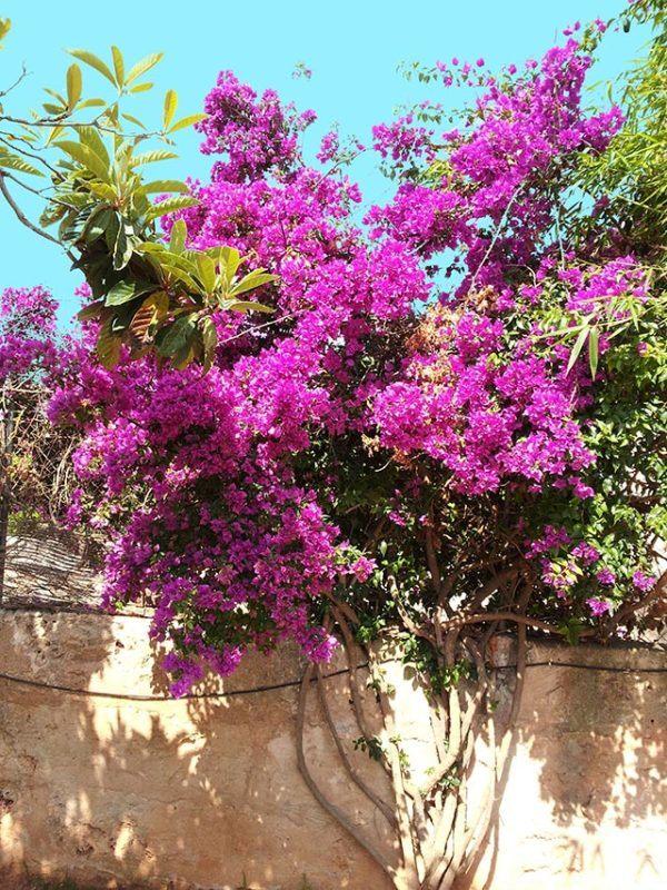 como-cultivar-la-bugambilia-en-nuestro-jardin-luz