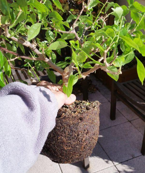 como-cultivar-la-bugambilia-en-nuestro-jardin-trasplante