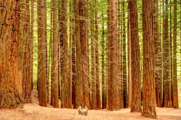 Los arboles mas magnificos del mundo sequoias altura