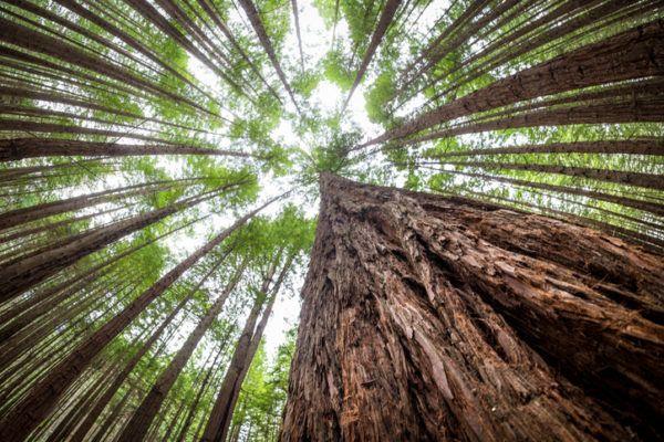 Los arboles mas magnificos del mundo sequoias centenarios