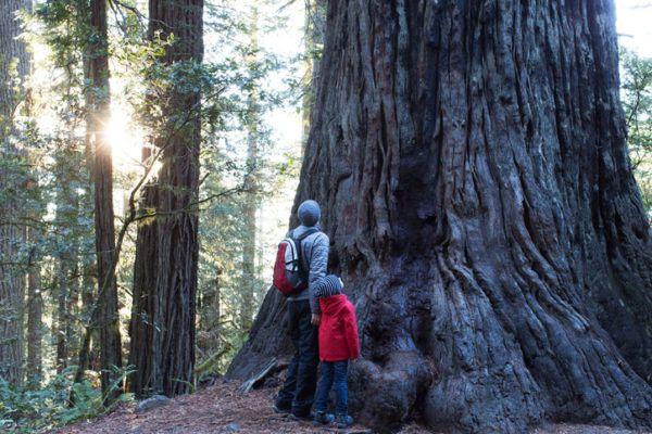 Los arboles mas magnificos del mundo sequoias hyperion