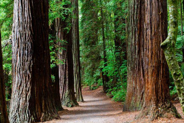 Los arboles mas magnificos del mundo sequoias paises