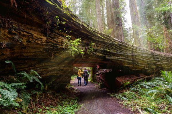 Los arboles mas magnificos del mundo sequoias tamano