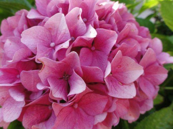 Cu les son las flores de invierno - Cuidados de las hortensias ...