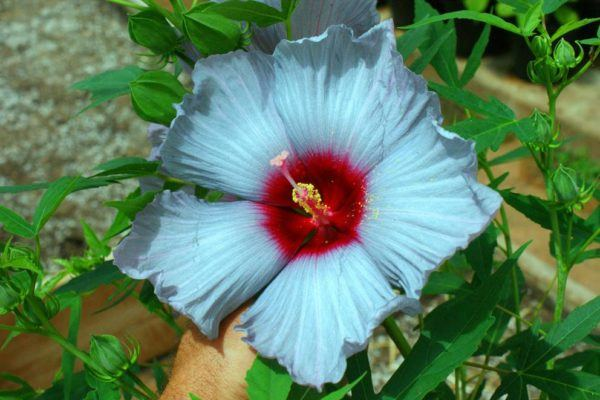 Pictures of hibiscus flowers to color