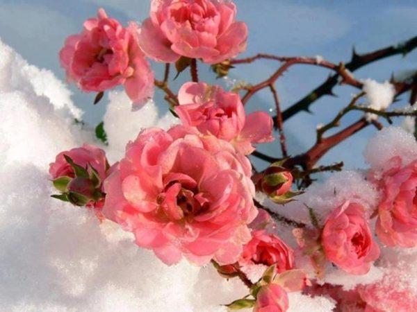 verdissimo-lenguaje-de-las-flores-CRISANTEMOS