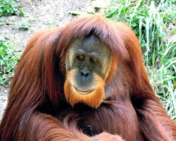 Bearded Monkey Name: Los Animales Extintos En La Ultima Década