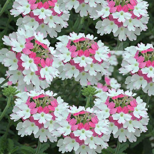 todos hemos odo hablar de la verbena como planta medicinal sin embargo no slo es eso sino que adems es una planta con flores preciosas - Fotos De Flores Preciosas