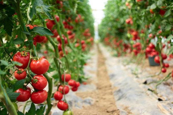Frutas y vegetales que no sabias que pueden contener veneno hojas de tomate