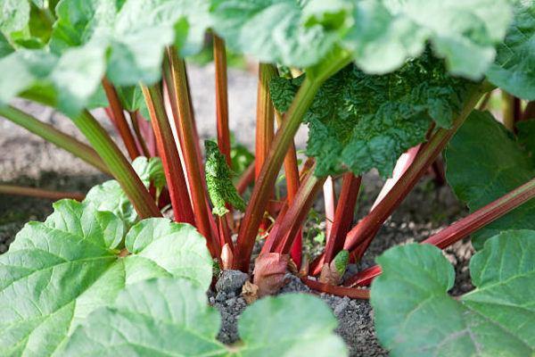 Frutas y vegetales que no sabias que pueden contener veneno hojas ruibarbo