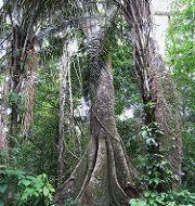 El 50% de las especies raras de árboles del Amazonas podrían extinguirse