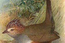 Descubren ave que se creía extinta desde 1992