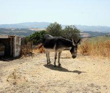 Los Reyes Magos cambian a los camellos por burros