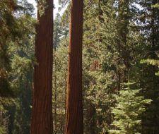 Las sequoias, iconos de la longevidad mueren más rápido por el calentamiento global
