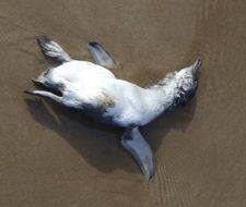 Más de mil pingüinos muertos en Chile