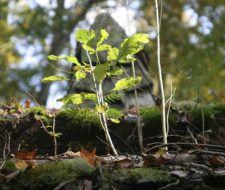 Lanzan programa peruano de adopción de árboles
