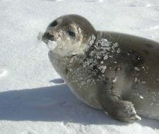 La foca ártica que se enamoró de España