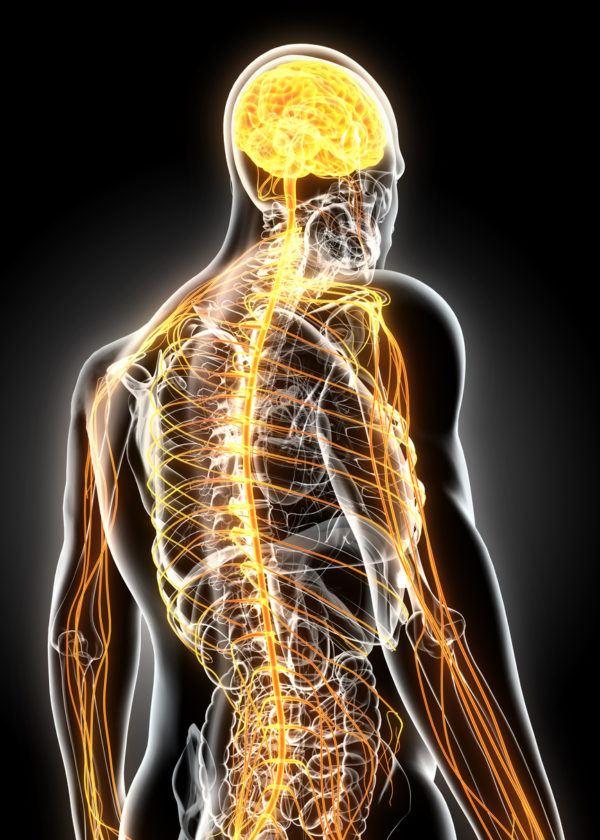 Componentes del sistema endocrino y su relación con el sistema ...