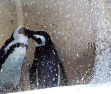 Pingüinos gays intentan robar un huevo y los castigan