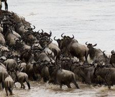 Trágico accidente se lleva la vida de 10 mil ñues en Kenia